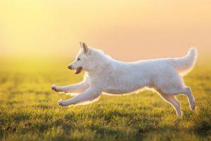 svájci fehér juhászkutya